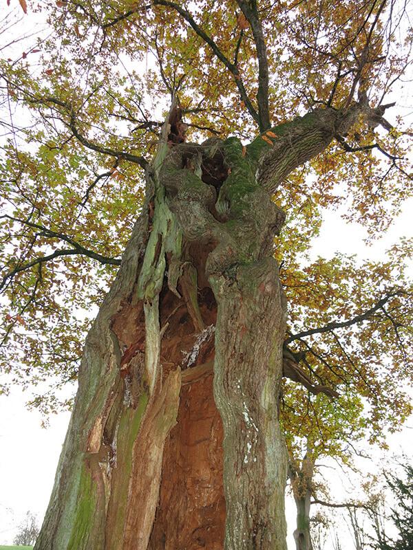 Ein alter hohler Baum aus der Forschperspektive