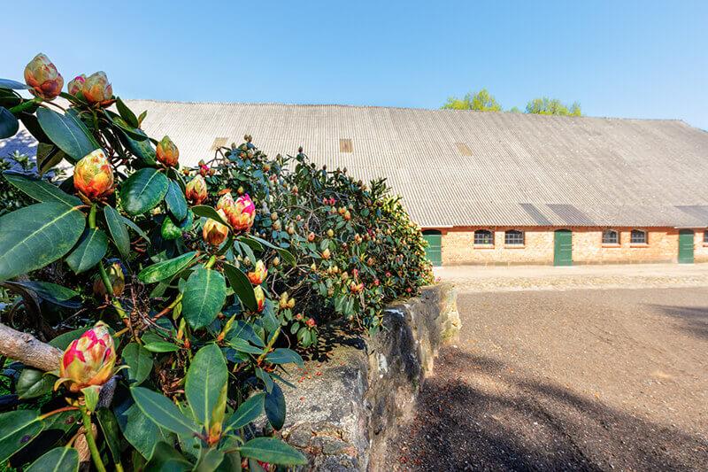 Blühender Rhododendron auf dem Vorplatz des Kuhhauses