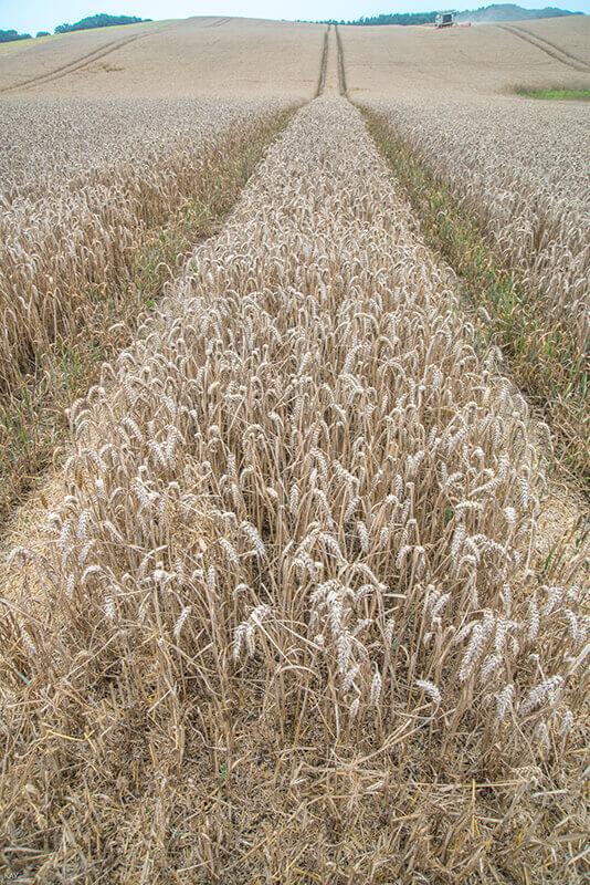 Ein Weizenfeld kurz vor der Ernte